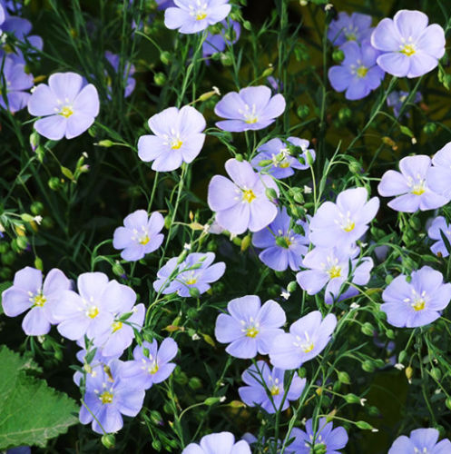 Primary image for 40 Blue Flax Family Seeds Flax Linum Perenne Blue Linen Garden Flowers