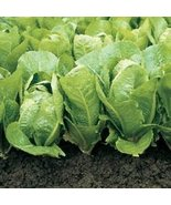 Bulk Organic Romaine Lettuce Seeds (5 LB) - $259.38