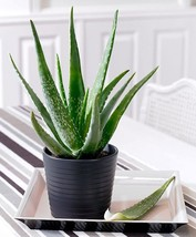 Live Aloe Vera - Juice Medicinal Tropical Plant Fit 6'' pot - $9.49
