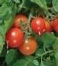 Tomato - Tumbler Cherry - Non-Hybrid - Non-GMO - St. Clare Heirloom Seeds - $2.99