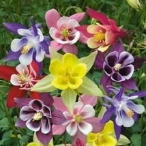 50 Bright Mix Columbine Flower Perennial Seeds #STL17 - $15.17