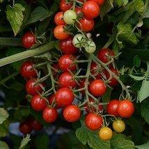 1/8 Oz Seeds of Matt's Wild Cherry Tomato - $48.51