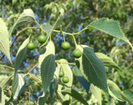 5 Pcs Seeds Honeyberry Celtis Australis Tree - DL - $16.00