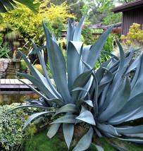 AGAVE SALMIANA, rare succulent pulque century plant exotic garden seed 1... - $19.99