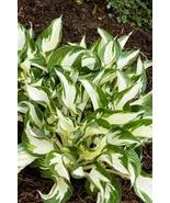 Fire and Ice Hosta Hostas - $9.99