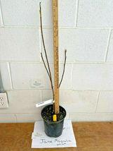 Jane Magnolia gallon pot shrub/tree image 5