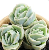 3 Pack - Succulents Echeveria Lovely Rose for Fairy Potted #TNGD8 - $18.99
