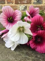 Malope Trifida Mix 50 Flower Seeds - $12.98