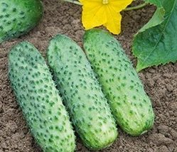 5g / 20 Seeds of Cucumber Pasamonte F1 - $21.46