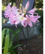 8 Amaryllis Belladonna - Pink Naked Ladies - Surprise Lily 2 BULBS PER O... - ₹907.35 INR