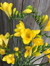 1 Bare Roots Plant Hemerocallis daylily Daily Bread - $8.91