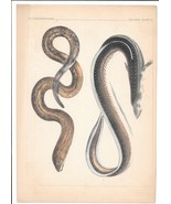 Eels US Cmdr Perry Japan Expedition Nat Hist Plate XI Engraving Reptiles... - $9.95