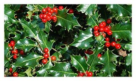 Nellie R Stevens Holly - Healthy Plants  Potted Plant - Super Roots - 3 ... - $21.38