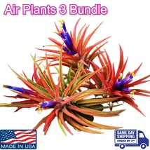 Air Plant Iona 3 for 1 Deal Airplant, Tillandsia, wholesale, Bulk, Sale,... - $4.94