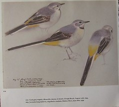 BEAUTIFUL VINTAGE BIRD PRINT ~ MALE GREY WAGTAIL IN MOULT ~ TUNNICLIFFE - $52.50