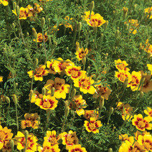Lemon Star Marigold Seeds / Marigold Flower Seeds - $21.00