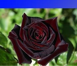 """"""" 50 seeds Black Baccara Hybrid Rose Shrub Flower Seeds GIM """" - $10.00"""