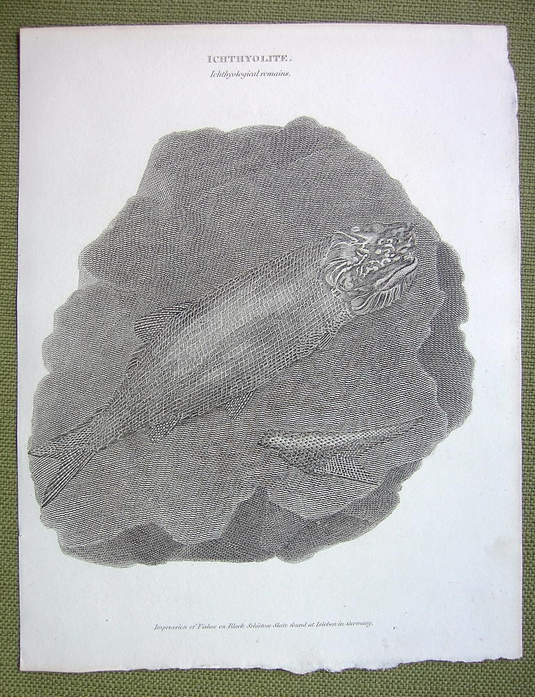 Primary image for FISHES FOSSILE Slate Impression from Isleben Germany - 1820 ABRAHAM REES Print