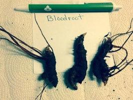 Bloodroot 5 roots wild flower image 3