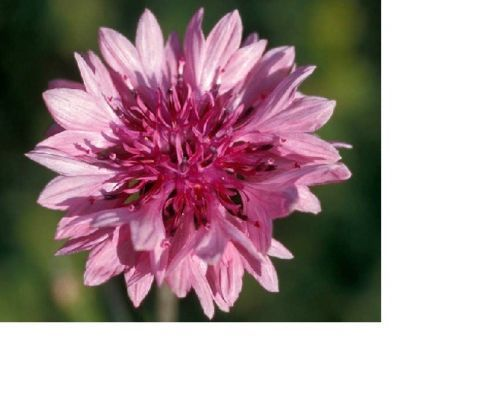 SHIPPED From US,PREMIUM SEED:800 Particles of Tall Pink Flower, Hand-Packaged
