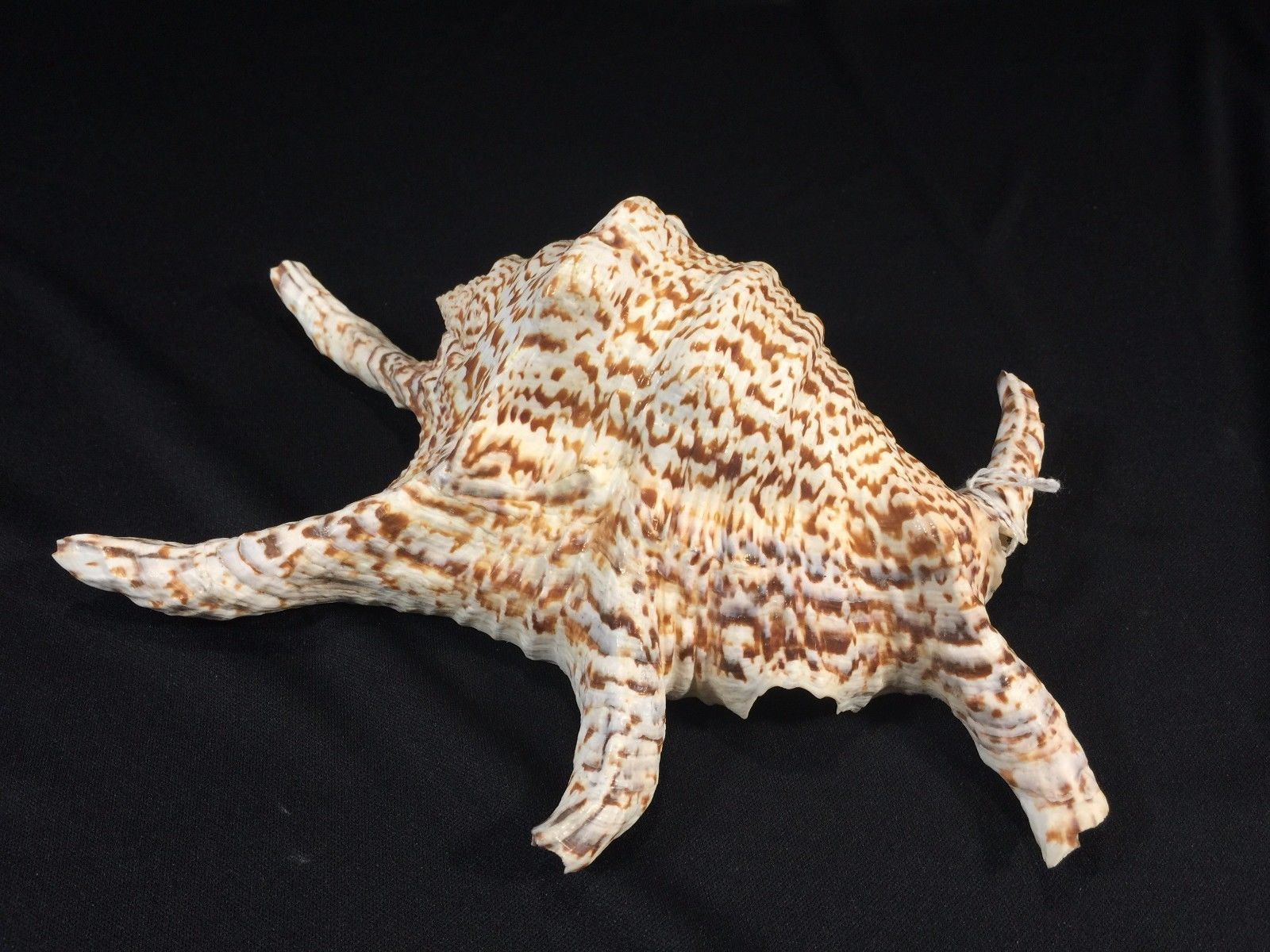 "Primary image for Spider Conch Type Shell Approximately 9"" Long"