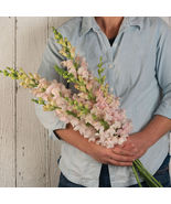 Costa Silver Snapdragon Seed,Costa Silver Snapdragon Flower Seeds - $21.00