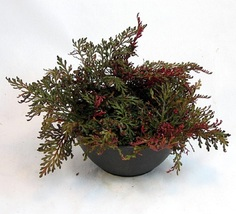 "4"" pot -Ruby Red Club Moss - Selaginella - Exotic - Easy House Plant - G... - $45.00"