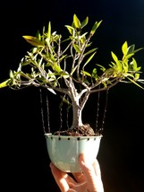Ficus Nerifolia Bonsai  Self-design plant + 10 aluminum wire - 16 year o... - $85.44