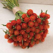 Orange Gomphrena Flower Seeds Container Flower Seeds - $8.99