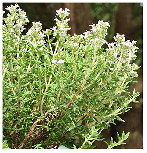 1000 Thymus Vulgaris, French Thyme Seeds-sometimes Called Summer Thyme,perennial - $4.72