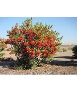 Toyon aka Heteromeles arbutifolia Std Live Plant Fit 5 Gallon Pot - $65.95