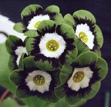 15pcs Very Unique and Wonderful Primula Auricula Psyche IMA1 - $14.92