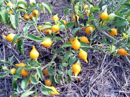 Biquinho - wild yellow pepper shaped like a top - $5.00