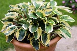1 Plant - Hosta Brim Cup - Hostaceae / Liliaceae - $8.45