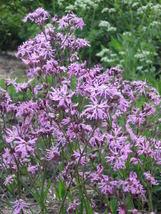 100 seeds - Ragged Robin Pink Purplish Lychnis Flos Cuculi #SFB15 - $17.99