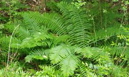 Cinnamon Fern 6 Bare Root Plants - $22.68