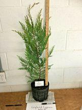 1 Leyland Cypress gallon pot image 3