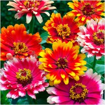 100 Seeds ~ Zinnia Carrousel Mix - $7.99