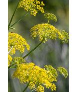 1020mg Wild Fennel ~200 Seeds ~ Imported Italian Heirloom Herb Ornamenta... - $15.99