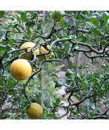"""Flying Dragon"" Poncirus trifoliata 2 year old seedling sent bare root tkmv - $66.00"