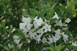 WHITE WEIGELA  (Weigela florida white) image 1