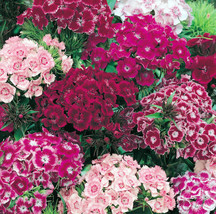 Mixed Sweet William Seeds, Dianthus Seeds, Heirloom Flower Seed, Perennial 75ct - $14.39
