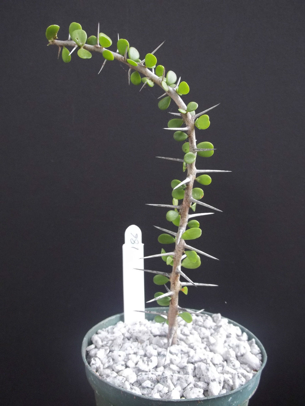 "Primary image for SHIP From US, 4"" Alluaudia Humbertii madagascar, succulent plant cacti ECC"