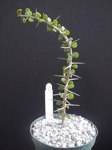 """SHIP From US, 4"""" Alluaudia Humbertii madagascar, succulent plant cacti ECC - $66.99"""