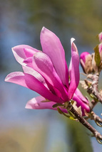 1 Plant Ann Magnolia Tree - Live Plant Established Rooted in 1 Gallon - ... - $86.00