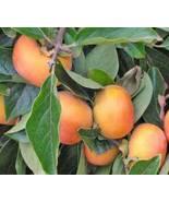 JIRO FUYU PERSIMMON JAPANESE FRUIT TREE GRAFTED - $39.99