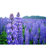 125 Blue/Purple Perennial Lupine Flower Seeds - Free Gift - COMB S/H - $1.25