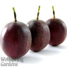 Purple Possum Passiflora edulis Passion Fruit Flower Vine LIVE PLANT But... - $34.50