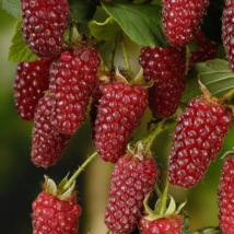 FRESH 50Pcs Raspberry Fruit Seeds Plants Scottish Cross Tayberry Heirloo... - ₹255.30 INR