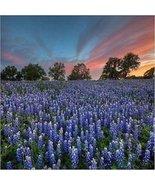 Texas Bluebonnet Flower Seeds (Lupinus Texenis) 80+Seeds - $6.70